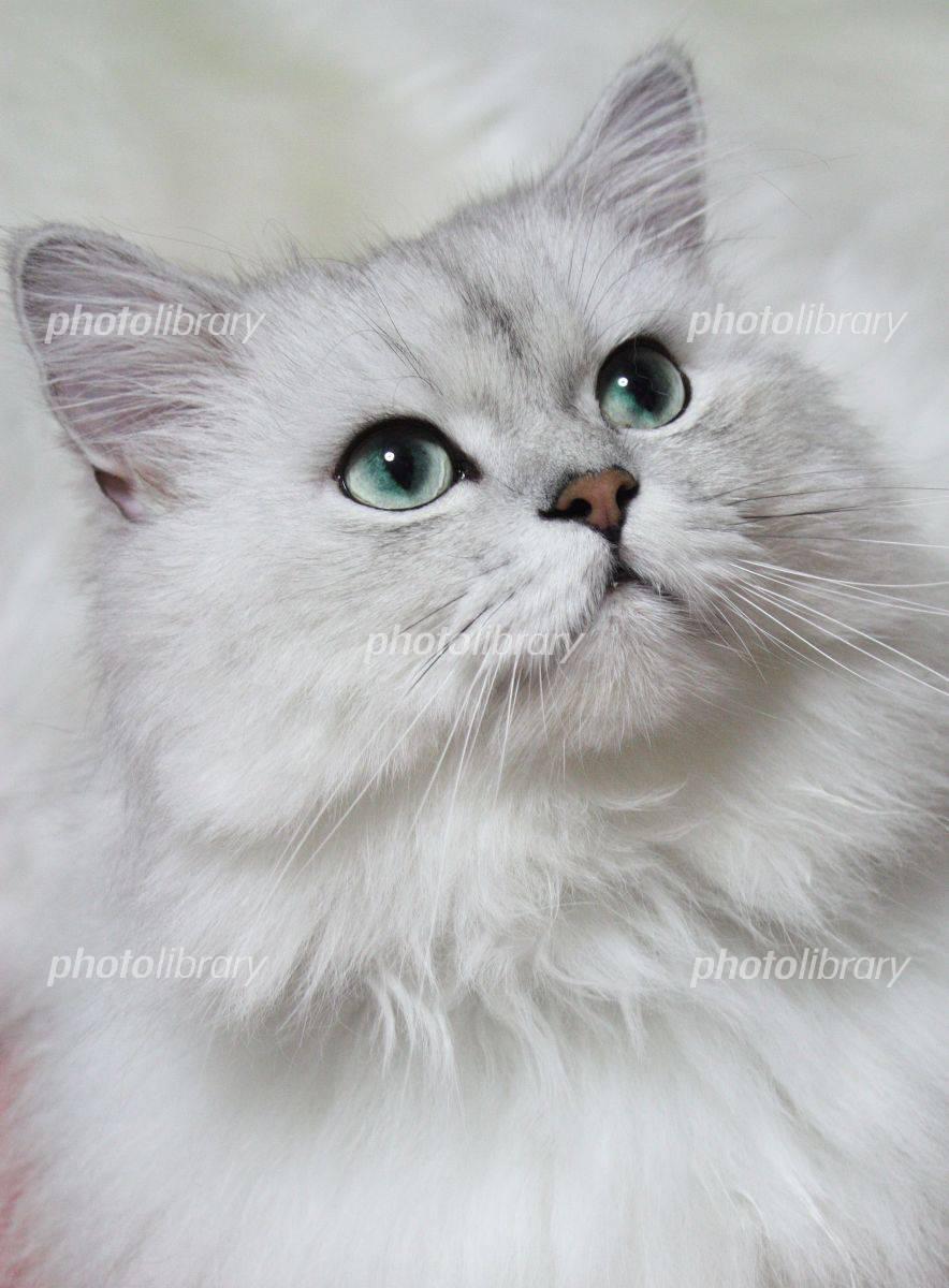 ペルシャ猫 チンチラシルバー