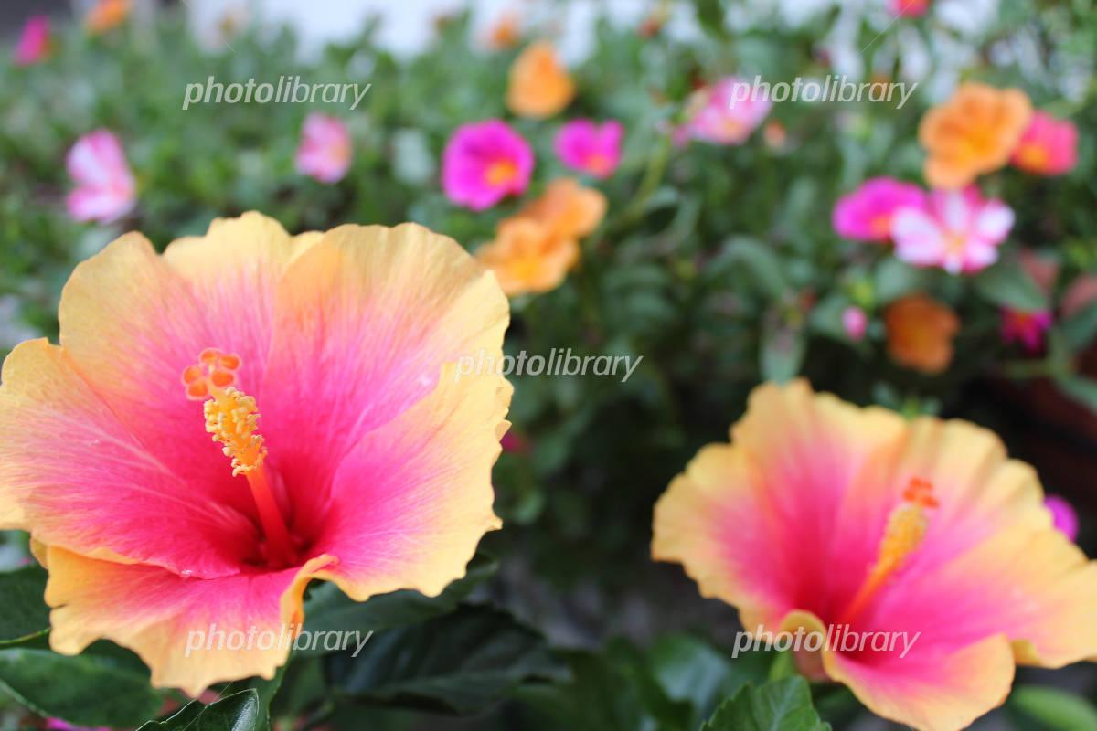 Hibiscus Photo