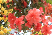 Begonia Stock photo [1788634] Begonia
