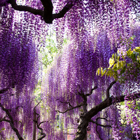 The wisteria flowers Stock photo [1789584] Flower