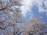 Cherry tree and sky Stock photo [1791216] Cherry