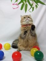 Jarrell Persian cat Stock photo [1793962] Persian