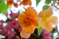 Begonia flowers Stock photo [1796316] Begonia
