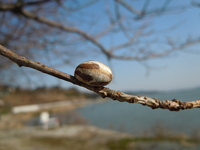 Cocoon of Monema flavescens attached to the branches of the cherry tree. Stock photo [1798826] Kyushu