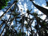 Of Yaeyamayashi palm tree Ishigaki Stock photo [1895227] Palm