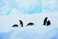 Antarctica Adelie penguin Stock photo [1895454] Landscape