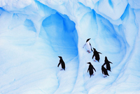 Antarctica Adelie penguin Stock photo [1895662] Landscape