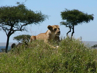 Lion to look around Stock photo [1896138] Kenya