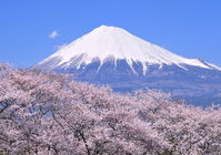 Cherry blossoms and Mt Fuji Stock photo [1903234] Mt.
