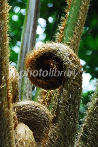 ヒカゲヘゴの画像 p1_9