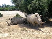 South Africa white rhino Stock photo [2004903] Africa