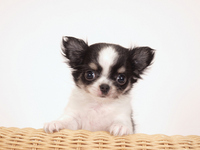 Puppy Chihuahua riding on rattan chair Stock photo [2005349] Puppy