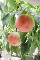 Peach Stock photo [2006136] White