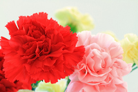 Red carnation and pink carnation Stock photo [2007645] Carnation