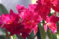 Cattleya Stock photo [2010944] Orchidaceae