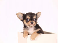 Chihuahua that went into the white box Stock photo [2011885] Puppy