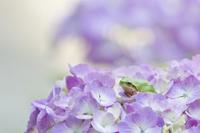 Hydrangea and frog Stock photo [2013640] Hydrangea