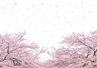 White Background cherry snowstorm Stock photo [2014067] Background