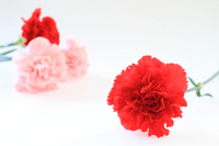 Mother's Day red and pink carnation Stock photo [2014445] Mother's