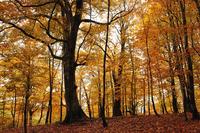 Autumn beech forest Stock photo [2116215] Akita