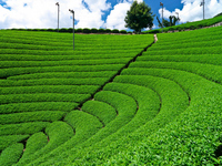 Wazuka of tea plantation stock photo