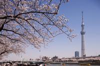 Cherry in full bloom Sumida Park and Tokyo Sky Tree Stock photo [2216502] Sumida