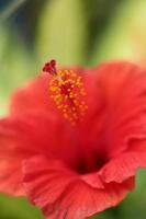 Hibiscus Stock photo [2217622] Hibiscus