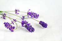 Lavender Stock photo [2220535] Lavender