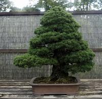 Pine Minoru Tadashi Stock photo [2221925] Minoru