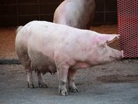 Pig Stock photo [2224357] Pig