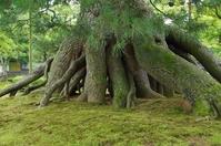 Kenrokuen Negami pine Stock photo [2226346] Ishikawa