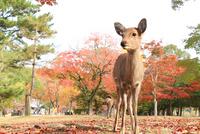 Deer of Nara Park Stock photo [2226630] Nara