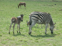 Zebra Stock photo [2227968] Parent-child