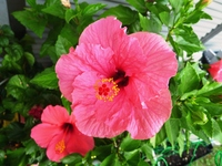 Pink Hibiscus Stock photo [2229054] Hibiscus