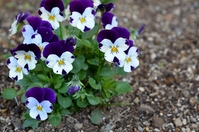 Pansy Stock photo [2232542] Pansy