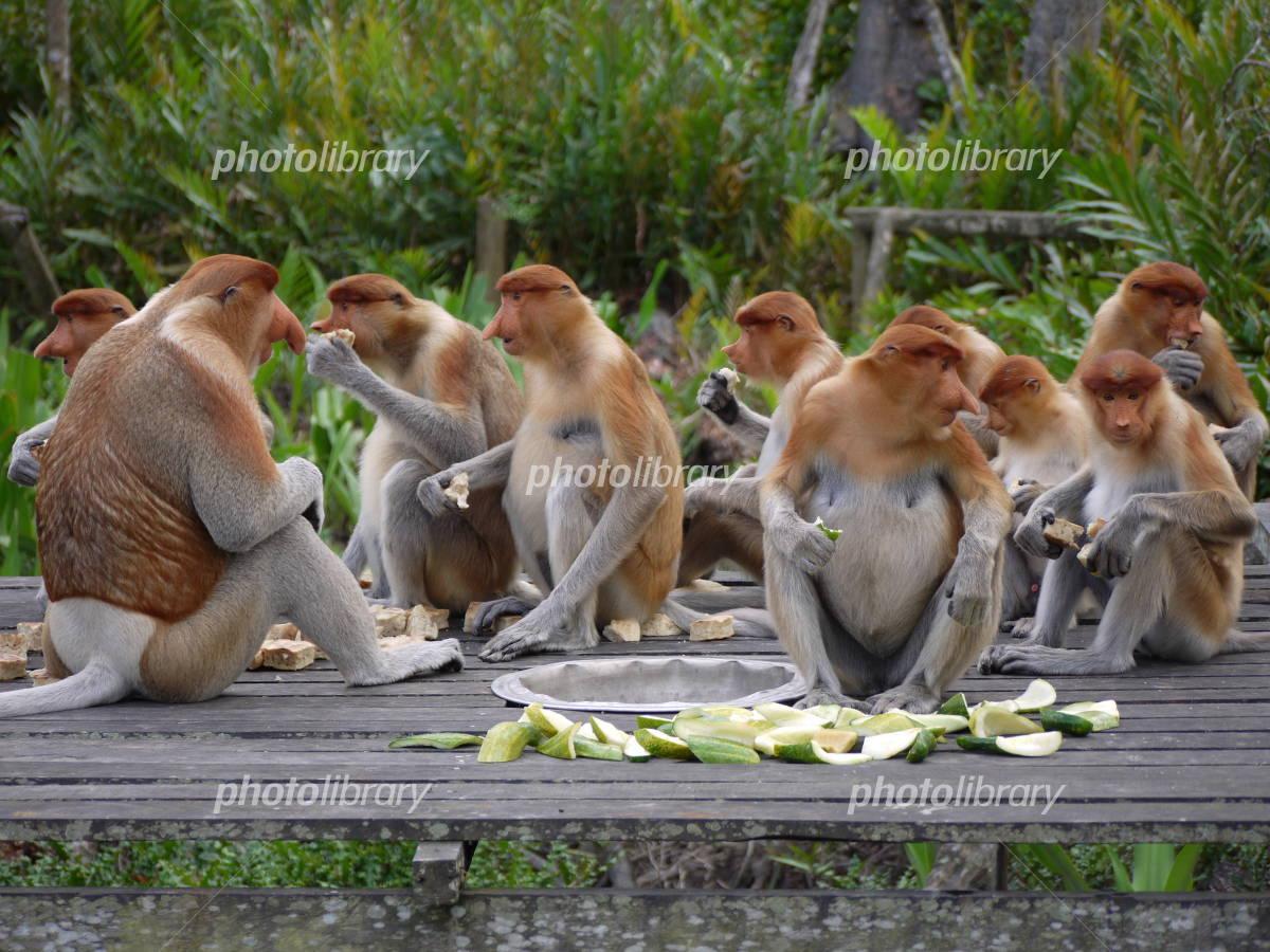 テングザルの餌付け 写真素材 テングザルの餌付け 写真素材 [ 2354354 ] 無料素材-
