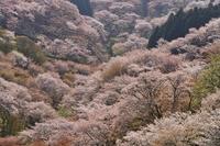 Of full bloom Yoshino Stock photo [2342805] Mt.