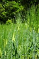 Barley Grass Stock photo [2348482] Barley
