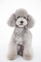 Toy poodle Stock photo [2349606] Animal