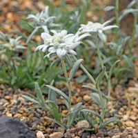 Leontopodium alpinum Stock photo [2469832] Alpine