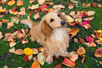 Miniature Dachshund on the autumn leaves were deciduous Stock photo [2472406] Miniature