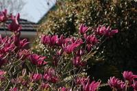 Full bloom of purple magnolia Stock photo [2472773] Purple