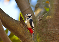 Great spotted woodpecker Stock photo [2472790] Great