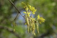 Quercus flowers Stock photo [2475815] Quercus