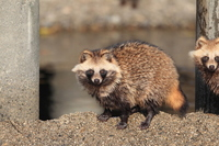 Raccoon dog Stock photo [2477184] Raccoon