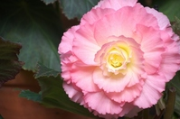 Big pink begonia Stock photo [2478925] Begonia