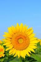 Sunflower and summer sky Stock photo [2480649] Sunflower
