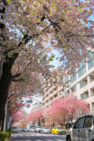 Double cherry bloom Sakurashinmachi Stock photo [2595580] Double