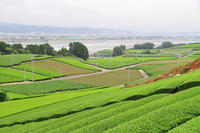 Tea plantation of Makinohara plateau Oigawa Stock photo [2595942] Makinohara