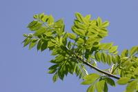 Bitterwood Stock photo [2596784] Simaroubaceae